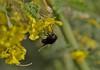 Two Eyes You See (harefoot1066) Tags: fabaceae parkinsonia cercidium parkinsoniaflorida cercidiumfloridum bluepaloverde diptera aschiza syrphidae eristalinae volucellini copestylum copestylummexicanum mexicancactusfly