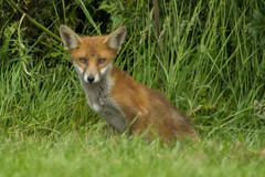 FOX (_jypictures) Tags: animalphotography animals animal canon7d canon canonphotography wildlife wildlifephotography wiltshire nature naturephotography photography pictures fox ukwildlife