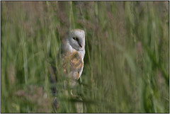 Barn Owl (Full Moon Images) Tags: woodwalton fen greatfen bcn wildlife trust nnr national nature reserve cambridgeshire bird birdofprey barn owl