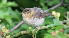Willow Warbler Youngster (doranstacey) Tags: nature wildlife birds willow warbler kiveton woodland youngster young fledgling tamron 150600mm nikon d5300 animals springwatch