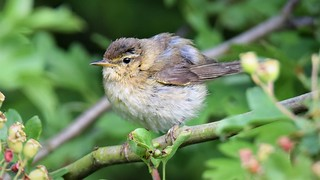Willow Warbler Youngster
