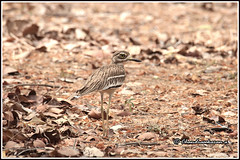 7895 - stone curlew (chandrasekaran a 49 lakhs views Thanks to all.) Tags: indianstonecurlew indianthickknee stonecurlew birds nature india chennai canoneos6dmarkii tamronsp150600mmg2