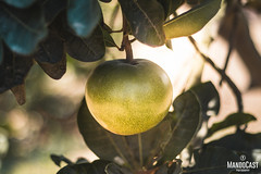 Origin of the Lucuma, our peruvian superfood! (Mando Cast) Tags: azul nature green sun leaves tree lucuma peruvian fruits superfoods superalimento peruano naturaleza mandocast mandocastphoto mandocastphotography armandocastanon bokeh 50mm canon detail product photography advertising beautiful clean sunflare afternoon peru fields lima ica travel wanderlust superingredients work