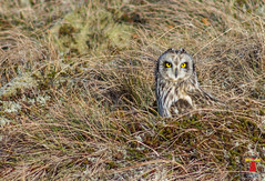 Short-eared Owl (Larsenio) Tags: owl owls birds birding bird norway norge north norvege norwegen nordic northern norsk nordland northernnorway norwegian andøy fugler pentax pentaxk5 ricoh scandinavia skies skandinavia europe european euro view 2018 explore flickr