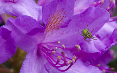Beauty and the Beast (Christian Hacker) Tags: allnatural macromondays macro canon eos50d tamron 1750mm fernworthyreservoir dartmoor nationalpark uk devon nature rhododendron flower spider lurking web greenspider purple violet flowering anthers spiderweb ambush deadly beautyandthebeast dof shallowdepthoffield focus hmm animal arachnid itsatrap greenspiderman creepycrawlies