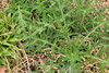 bull thistle rosettes (ophis) Tags: asterales asteraceae cirsium cirsiumvulgare bullthistle rosette