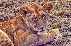 Do not disturb, it's siesta time. (gerard eder) Tags: world travel reise viajes africa kenya kenia masaimara masai masaimaranationalreserve nationalreserve wildlife lion leon löwe animales animals tiere natur nature naturaleza outdoor landscape landschaft