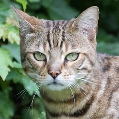 Look in to my eyes! (MJ Harbey) Tags: cat grass feliscatus felis felinae feline animalia nikon nikond3300 d3300 greeneyes cateyes