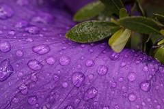 Iris in Rainstorm (hanley.will) Tags: rain raindrops purple iris purpleflower macro flower nature sarahpdukegardens sarahdukegardens lines reflection dukegardens dukeuniversity durham natural petal spring