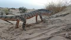 Desert Monitor (Varanus griseus) - כח אפור (shanicy) Tags: reptile monitor varanus herping negev desert wildlife לטאה ענקית dragon video