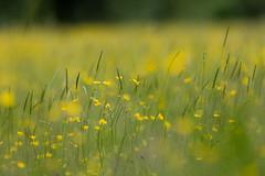 Mellow Yellow (RD400e) Tags: canon 5dsr ef 300mm f28 mk2 butercups medow cromwell bottom