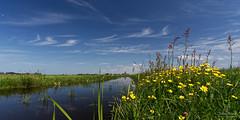 Little Flowers (Johan Konz) Tags: flowers green grass field water watercourse blue sky white clouds ransdorp waterland netherlands outdoor landscape waterscape nikon d7500
