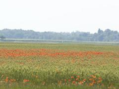 P5310503 (turbok) Tags: blumenwiese blütenrot klatschmohnpapaverrhoeas landschaft pflanze wildblumen wildpflanzen c kurt krimberger