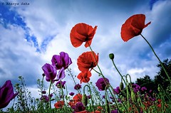 Colourful Poppies (Ananya Saha) Tags: sony new delhi nehru park nature red purple flowers black white clouds blue sky green stem herbaceous plants family papaveraceae subfamily papaveroideae flora poppy field beautiful colourful poppies blooming floral