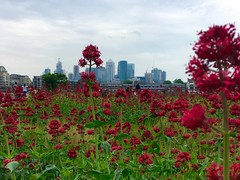 Red Valerian (Davoski) Tags: greenwich flowers landscape canarywharf redvalerian