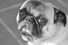 Pug (Blancof) Tags: pug pet dog