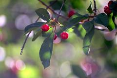 *** (Valentyn Kolesnyk (ValeKo)) Tags: pentax k3 ko120m petzvale nature bokeh blossom
