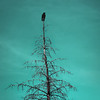 23 / 52 : 2 (Randomographer) Tags: 52weeks tree branch reach silhouette processed day sky nature cloud bare naked outdoor plant bird raven crow passerine animal blue minimal 52 23 2018