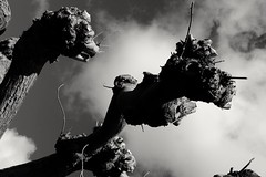 Gnarly monsters. (ianmiller6771) Tags: trees clouds monsters gnarly outdoors scary gargoyles dragons aliens blackandwhite bw abstract faces twistedfaces