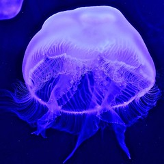Moon Jellyfish (tim.perdue) Tags: moon jellyfish newport aquarium kentucky cincinnati ohio animal invertebrate aquatic sea ocean nature alien aurelia aurita jelly saucer common translucent