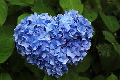 Hydrangea,Iwamoto Mountain Park (ULTRA Tama) Tags: japan shizuoka fuji todays dayliphoto instadaily photogenic igjapan loversnippon worldcaptures flickrfriday welovef june 2018 hydrangea iwamoto mountain park flower blue heart blueheart