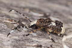 Platystomos albinus (NakaRB) Tags: 2017 insecta coleoptera anthribidae platystomosalbinus