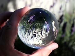 Purple Field (Robert Cowlishaw (Mertonian)) Tags: purplefield spring exploring creative newprop bigglassball sphere backyardphotolab bypl lavender canonpowershotg1xmarkiii markiii g1x powershot canon mertonian purpleprobably forsophia