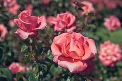 Roses (JSB PHOTOGRAPHS) Tags: jsb5194 owenrosegarden eugeneoregon nikon d3 28300mm roses rosegarden owenmemorialrosegarden bokehlicious bokeh pinkrose