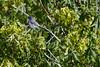 IMG_1127 (armadil) Tags: sanfrancisco sanfranciscobotanicalgarden sfbotanicalgarden bird birds jay jays stellersjay scrubjay motherhood spring