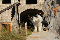Cats of Počitelj (morbidtibor) Tags: kat cat kater poes pussycat kitten počitelj bosnia herzegovina