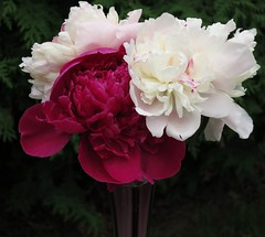 IMG_1204 (2) peonie arrangement (jgagnon63@yahoo.com) Tags: peonie domesticflowers flower june escanaba flowerarrangement vase flowersinvase bouquet