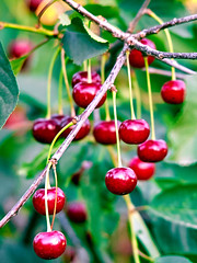 not ripped off ripe cherry (uiriidolgalev) Tags: ripped off ripe cherry