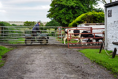 in for milking (billdsym) Tags: annan scotland cattle coo cows farm morning sony