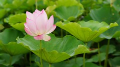 荷花盛開的季節又來了,The season of blooming lotus came again@Taoyuan (sean033225599@yahoo.com.tw) Tags: lotus flower blossom pond summer green pink beauty