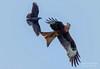 Red kite and Jackdaw action (gemma reddington) Tags: redkite raptor bird flight flying wild wildlife action sky june spring outside birdofprey jackdaw attack fight two