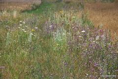 Пшениця, жито, овес InterNetri  Ukraine 044