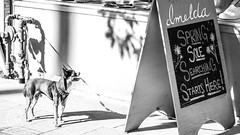 chewThought.jpg (christophersears94) Tags: toronto urban roncesvalles street ronceydog dog olympus45f18 canada olympusem12 ronnyvillage canine ontario ca