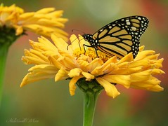 Happy Birthday Garry! (NaturewithMar) Tags: zinnia flower monarch butterfly happy birthday macro