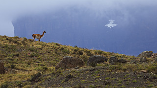 Guanaco on the ridge