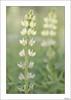 Dos hermanas (V- strom) Tags: texturas textures textura amarillo yelow flower flor verde green nikon nikon105mm nikond700 primavera spring springtime macros macro macrofotografía macrophotography luz light vstrom planta