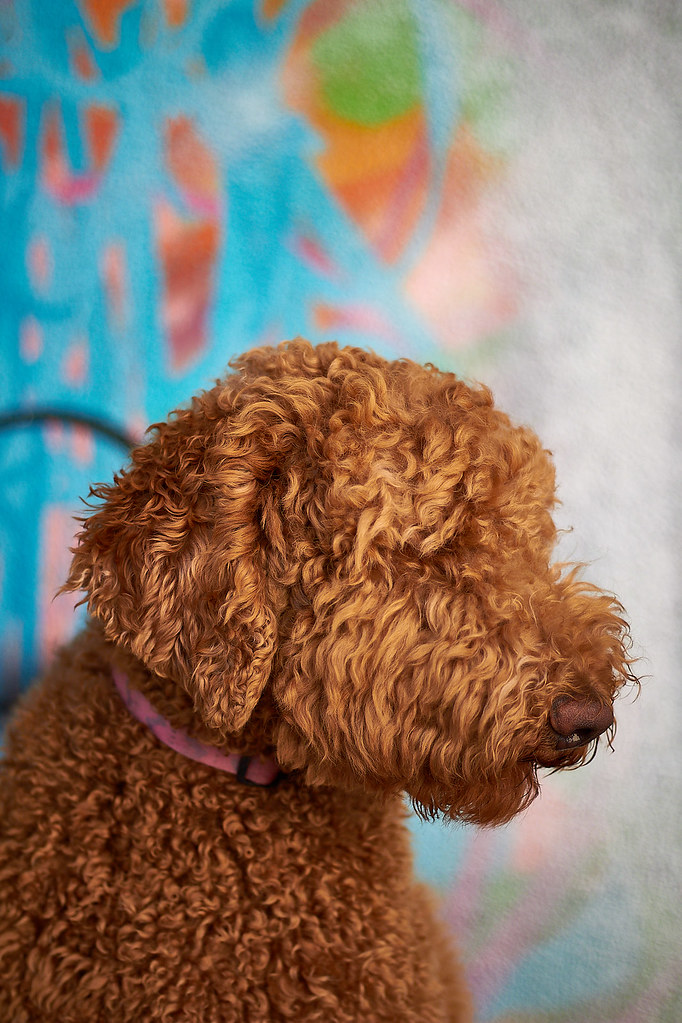 The World's most recently posted photos of goldendoodle and sunset