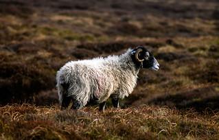 British Summer Sheep
