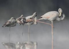 Greater Flamingos (S. Saqib Shams-II) Tags: greater flamingo flamingos preening social karachi pakistan