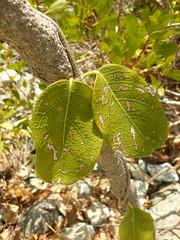 Stigmaphyllon floribundum (tammoreichgelt) Tags: malpighiaceae salt pond bay saint john bull wiss woolly amazonvine foliage leaf