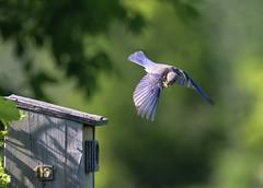 Feeding time (tsandra996) Tags: eastern blue bired cricket green flight bird house nature wild