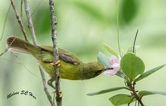 Olive Backed Sunbird (melvhsc100) Tags: bird nature sunbird tampines eco park green colourful flower bokeh smallbird garden singapore nice scenery nikond7200 tamron 150600mm
