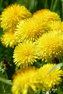 Lovely Dandelions