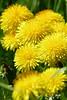Lovely Dandelions (evisdotter) Tags: dandelions maskrosor flowers blommor macro bokeh yellow nature sooc light