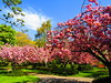 Park Life (Gary Chatterton 4 million Views) Tags: park town nature natural spring cherryblossom blossom trees bluesky deepcolours colour naturesbest flickr photography canonpowershot explore amateur
