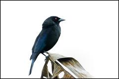 Bronzed Cowbird (John R Chandler) Tags: alajuelaprovince animal bird blackbird bronzedcowbird costarica donjuanorganicfarm lafortuna molothrusaeneus alajuela cr